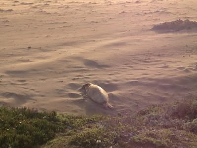 Elephant seal chillin'