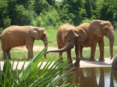 Elephants play in the pond - NC Zoo