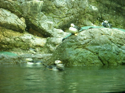 Puffins chilling on rocks