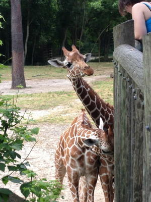 Giraffes mingling with the humans