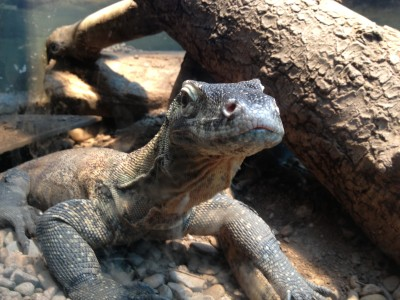 My friend the Komodo Dragon