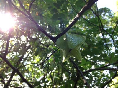 A star fruit hanging in Hawaii Tropical Botanical Gardens