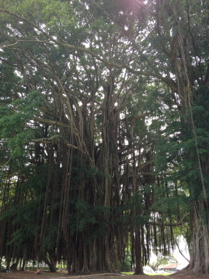 The giant banyan tree in Liliuokalani Gardens