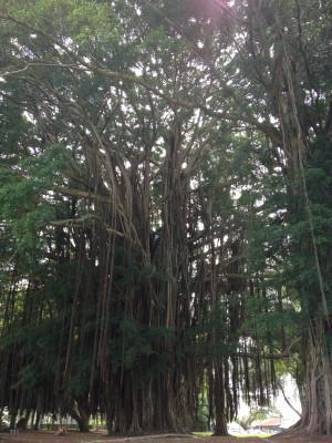 The giant banyan tree in Liliuokalani Gardens