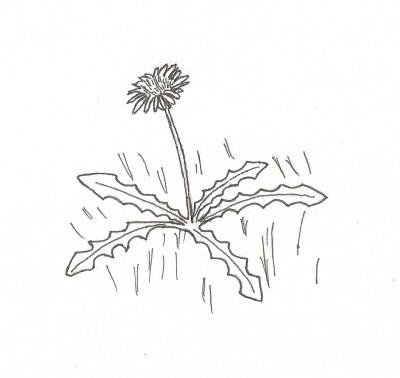 A Dandelion - pen